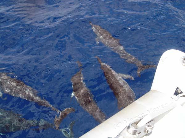 Delfini a prua del catamarano